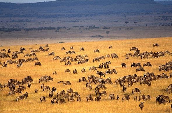 Национальный парк масаи мара - это северная (кенийская) часть равнины серенгети площадью в 1510 кв км